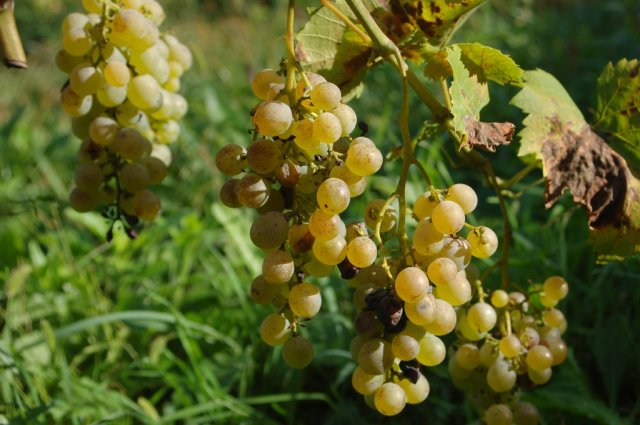 Csemegeszőlő